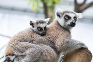 lemur-eyes-child-kid-349751-300x200